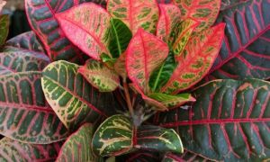 Кротон — приметы и суеверия, связанные с этим растением