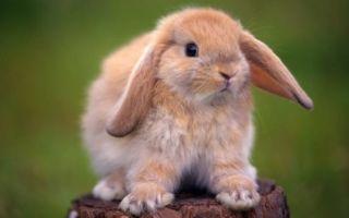Снятся кролики – к чему это? Толкование в зависимости от цвета, размера, количества зверьков и другие нюансы