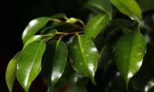 Фикус Бенджамина — приметы и суеверия, связанные с растением
