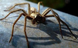Расшифровка и толкование снов. К чему снятся пауки?