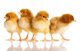 Цыплята – маленькие и подросшие, живые и мертвые. К чему они снятся и что предвещают?