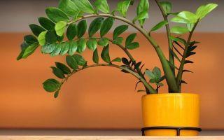 Замиокулькас — приметы и суеверия, связанные с растением